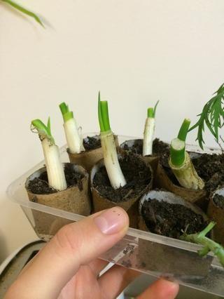 Aquí están después de una semana más o menos. Plante en una olla o jardín cama más grande cada vez que te gusta!