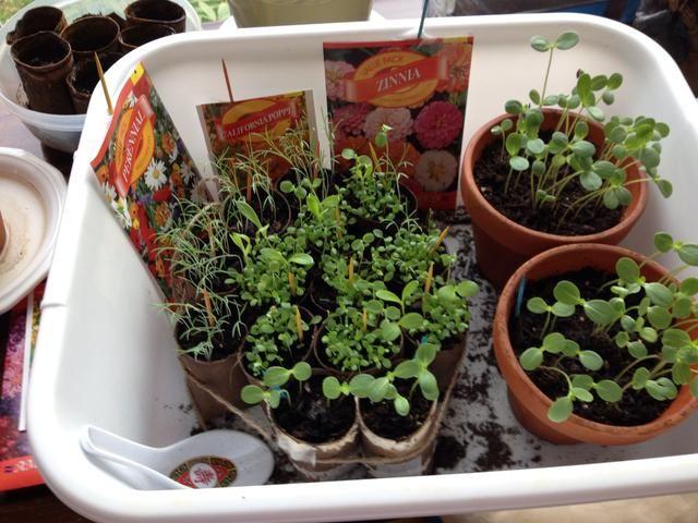 En pocas semanas tendrá hermosas plantas listas para poner en el suelo tan pronto como la última helada ha pasado. ??????