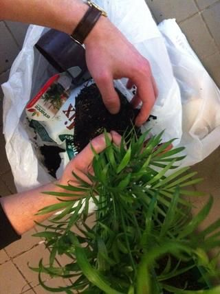 Ahora conseguir paseo de la mezcla de tierra pegada a las raíces de las plantas ... y su tan fácil que ...'s ready to replanted!
