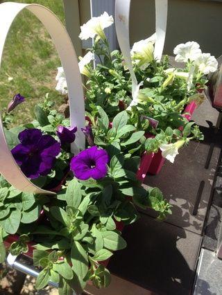 Compré petunias púrpuras y blancos. Estos son buenos porque son resistentes y requieren pleno sol.