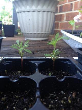 Crecer lindos pequeños plantones de caléndula año que viene!