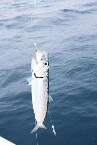 Una plataforma sabiki tiene múltiples ganchos y cuentas pequeñas para atraer a los peces.