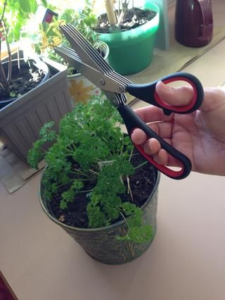 Me encanta tener una de mis jardín perejil y albahaca plantas durante el invierno, así que tengo un suministro de FRESCO! Esta tijera cortando hierba fue un regalo de mi hermana y funciona muy bien!