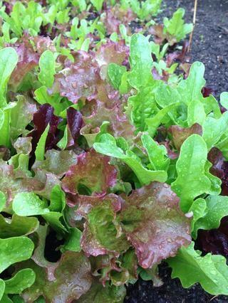 aquí's our lettuce ��