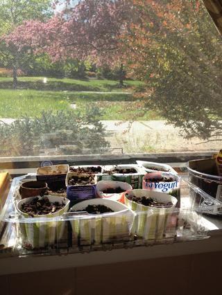 Ensamble bandejas de plástico, cortar cajas de papel de aluminio, corte de papel higiénico y rollos de toallas de papel, cortar vasos de yogur, etc - poner en el suelo, las semillas de plantas en profundidad recomendada, un montón de agua, luz y esperar!