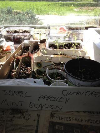 Las cajas de cereales, rollos de papel, cajas, vasos de papel, bandejas de plástico de edad fresa - perfecto - cada ramita tiene su propio hogar! Fácil de trasplantar!