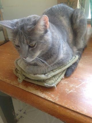 Haga que su gato calentar sus guantes de cocina.