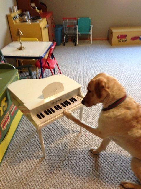Fotografía - Cómo enseñar a su perro a tocar el piano en un día