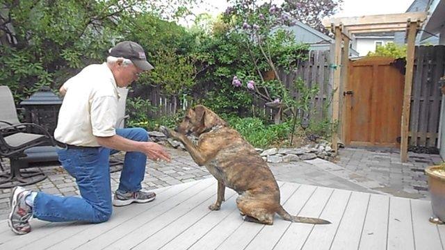 La señal de la mano (mano en la posición de batido) debe añadirse después de obtener la fiabilidad. Recuerde perros no generalizar lo que añadir nuevos lugares para practicar y añadir un montón de distracciones.