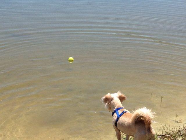 Si su perro no ha sido en torno al agua es probable que necesita un poco de aliento sólo para entrar en el agua. Lanza la pelota en aguas poco profundas en el principio con el fin de fomentar la confianza.