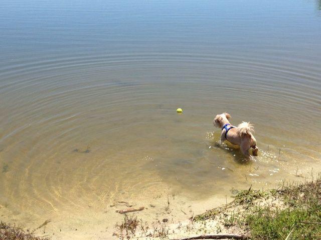 Una vez que su perro se mete en el agua, lo más probable es que será intrigado. Seguir tirando el juguete en aguas poco profundas para llegar a su perro cómodo con el agua.
