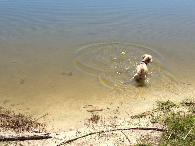 Pero una vez que el agua se pone demasiado profundo, su perro será probablemente asustado y retirarse. Don't worry - this is a normal reaction. It just means its time for the hands on portion of the training.