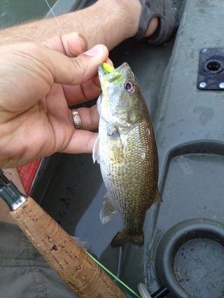 Como se puede ver, lo hace la captura de peces. He utilizado una versión chartreuse de esta mosca mientras que la pesca del río Guadalupe en Texas.