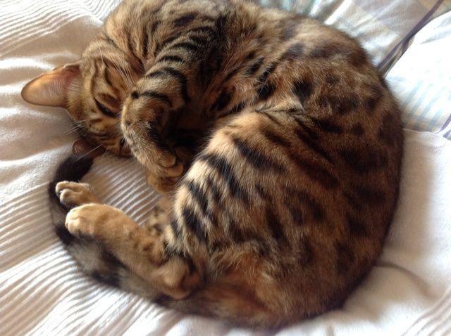 Cómo entrenar a tu gato al AMOR Cepillado