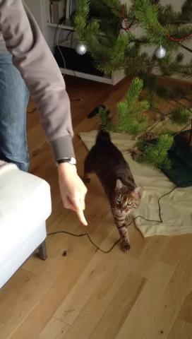 Usted puede tomar mucho ULTERIORES esto es opcional, pero es divertido. Sólo tienes que mover en pequeños pasos incrementales y estar seguro de que su gato es llegar a tener éxito con la suficiente frecuencia para que no se pierda el interés. Paciencia.