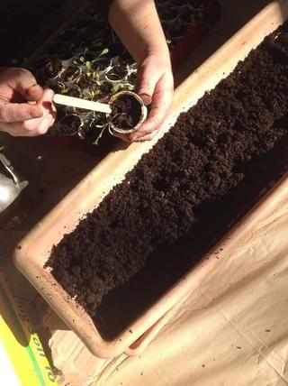 Empuje el palito de paleta en el lado del contenedor y lo utilizan para deslizar suavemente la planta fuera.