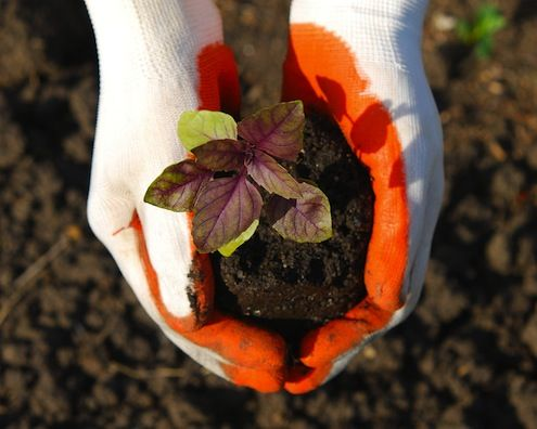 Fotografía - Cómo: Árboles de trasplante, arbustos y plantas perennes