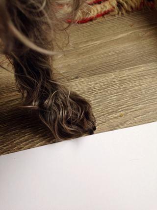 Compruebe si las uñas perros son demasiado largos o no. Si se puede deslizar un pedazo de papel debajo de ellos, ellos no't need trimming. If you can't do that, they need to be trimmed.