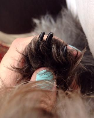 Si su perro tiene las uñas negras, como el mío, que pueda't tell where the veins are. This can be tricky. With white seethrough nails you can easily see the pink part inside your dogs nail. Don't cut there.
