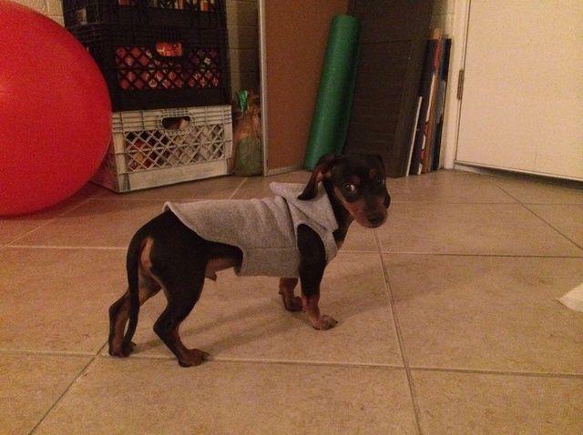 Fotografía - Cómo upcycle Pantalones de chándal con capucha En un perro