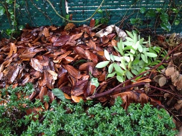 Por último, don't waste used tea leaves. Be it from medicinal use- in BBQ, smoked for food- aromatics in shoes or around homes, etc., ensure you toss it into a garden compost bin… NOT a garbage bin.