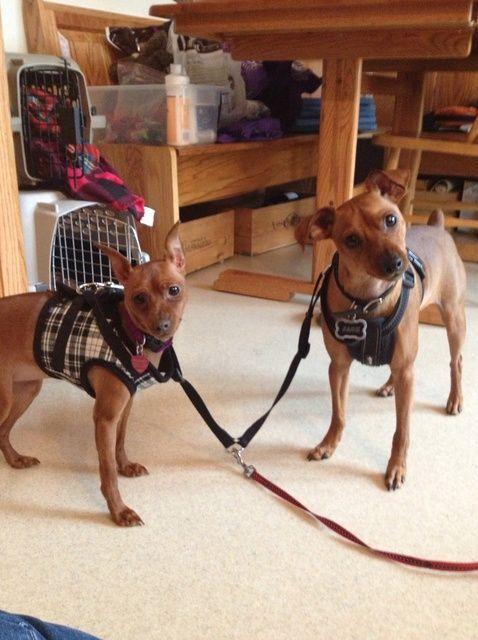 Cómo caminar Ambas sus perros por usted mismo ????????????????????????