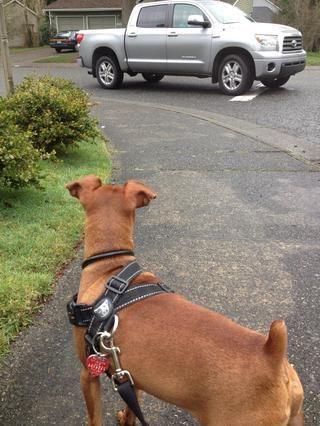Muy buen cachorro Jack, deteniéndose cuando los coches vienen por.