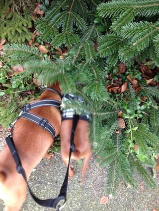Los cachorros encontraron un gran olor ... Supongo que puedo entender .... abetos huelen bastante bueno ??????