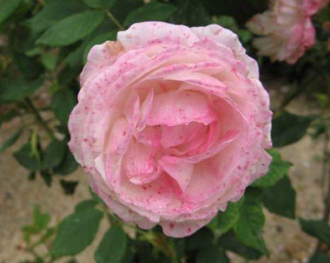 Rose Problemas - Botrytis tizón
