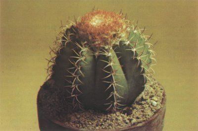 El cactus matanzanus Melocactus, un gran crucería, planta cilíndrica, desarrolla una tapa en la parte superior de la planta en la madurez.