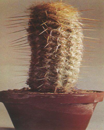 Hendriksenianus Oreocereus o cereus montaña