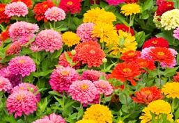 Multicolor Flores Anuales