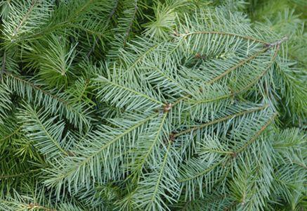 Tipos de árboles de Navidad - Douglas Fir