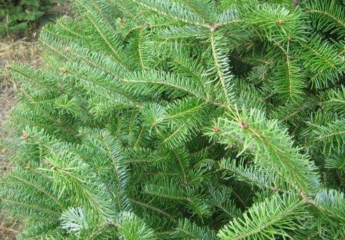 Tipos de árboles de Navidad - Balsam Fuego