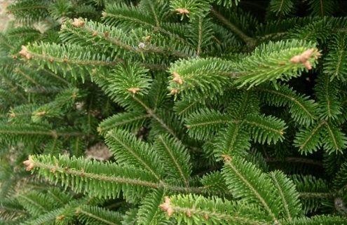 Tipos de árboles de Navidad - Frasier Fir
