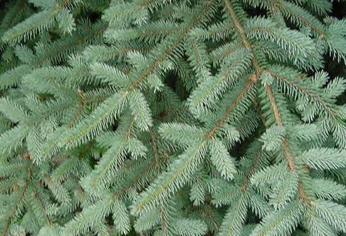 Tipos de árboles de Navidad - Blue Spruce