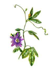 Fotografía - Pasiflora: remedios herbales