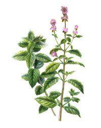 Fotografía - Menta: remedios herbales