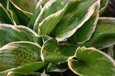Plantas perennes