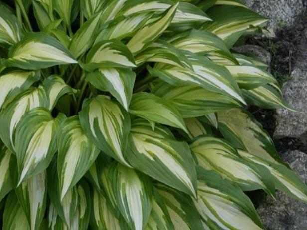 Fotografía - Las plantas perennes que aman la sombra