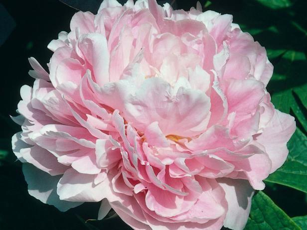 Fotografía - Peonías rosadas