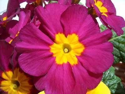 Polyanthas Rose