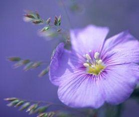 Portulaca, Moss Rose