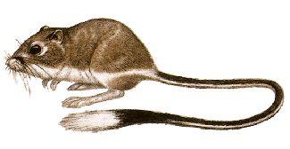 La rata canguro