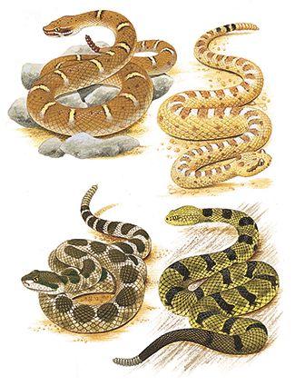 Las serpientes de cascabel: