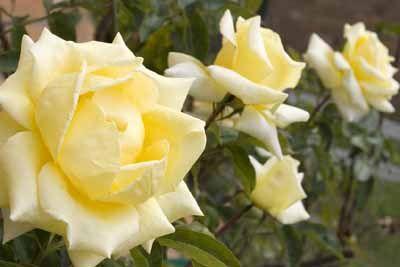 Arbusto Rose
