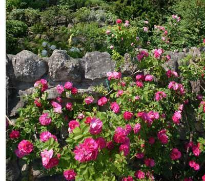 Especies Rose