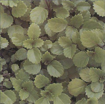 Sueco Ivy