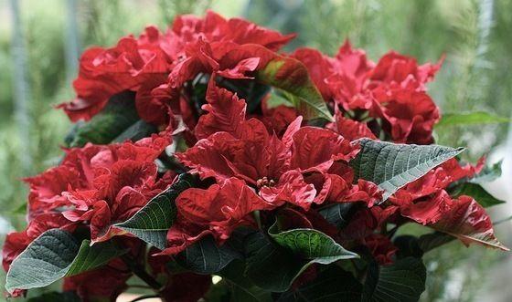 Fotografía - La flor de la Navidad