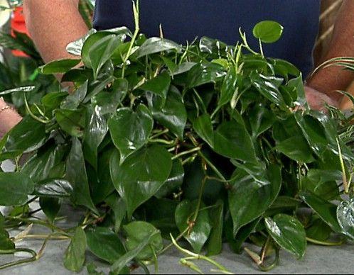 Hoja del corazón Philodendron - Top 10 Plantas de interior de la NASA para mejorar la calidad del aire interior Aprobado